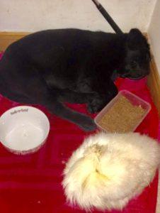 A silkie hen haein a snooze wi a labrador puppy